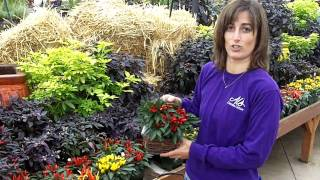 Fall Planting with Ornamental Peppers
