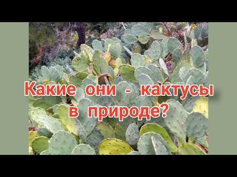 #Опунция в природе, какая она? Кактусы из Принцевых островов