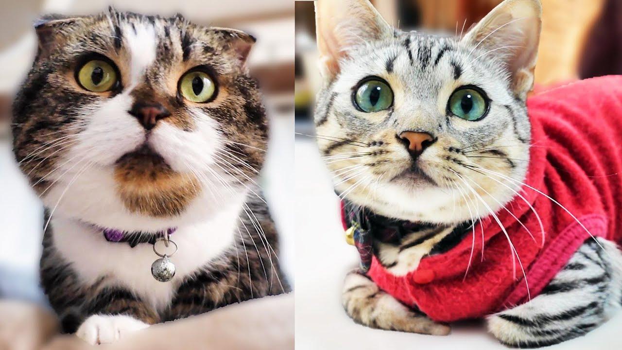 低い姿勢の短足猫が可愛い! The short-legged cat with a low posture is cute!
