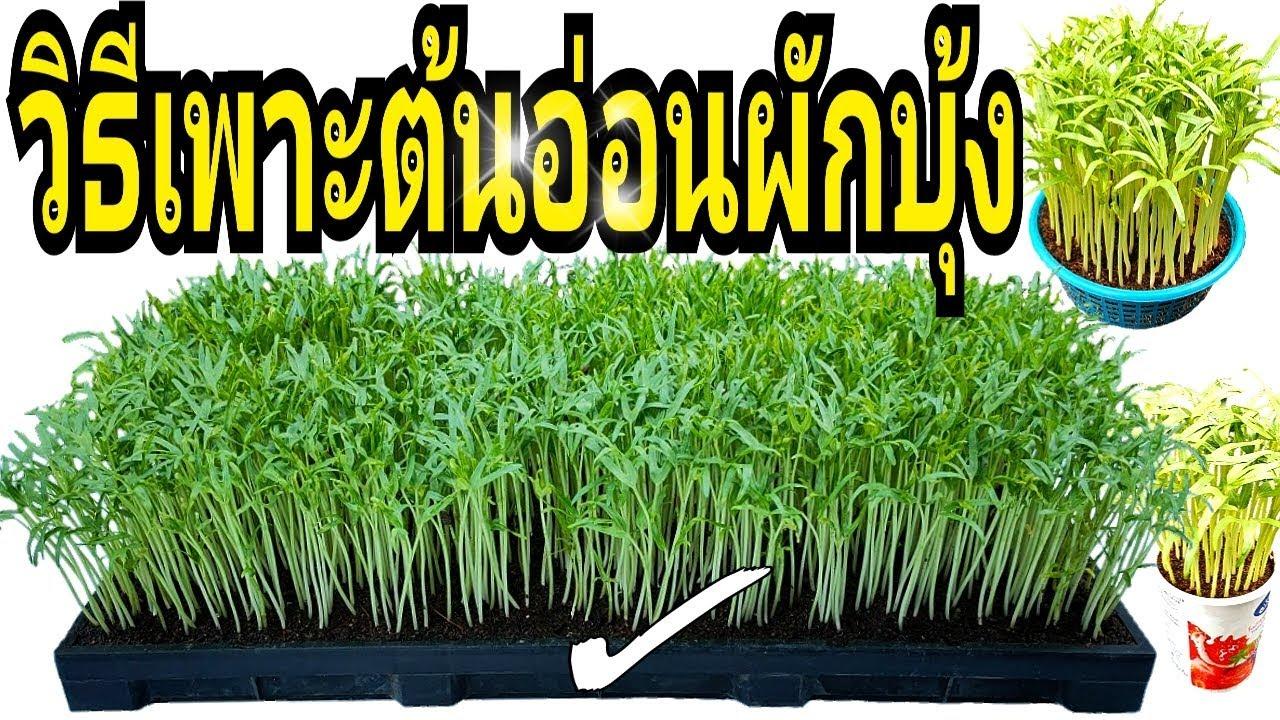 วิธีเพาะต้นอ่อนผักบุ้ง ให้ประสบผลสำเร็จ ปลูกง่าย ได้ผลผลิตดี