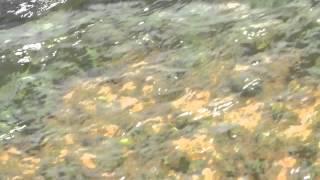 Le jacuzzi pour carpes au lac de cormoranche (f 01290)
