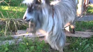 Koza z poczuciem rytmu / A goat with sense of rythm [FULL HD]