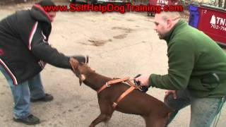 Trained Doberman Pinscher Personal Protection For Sale (k9-1.com)
