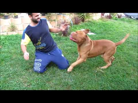 Dogue De Bordeaux - Babu  **Handsome boy playing hard**
