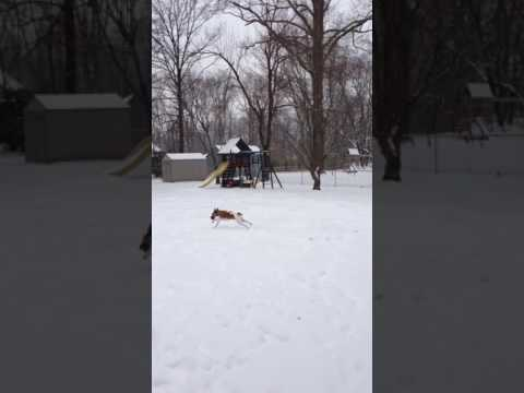 Smooth Fox Terrier loves snow