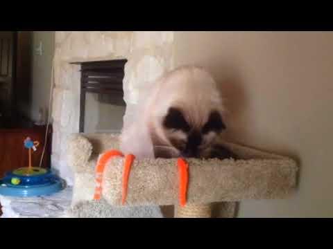 Birman cat is playing 😊