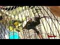 Suara Burung Pijantung Pisangan Jantung Gacor Enak Buat Masteran Burung Kicau  Mp3 - Mp4 Download