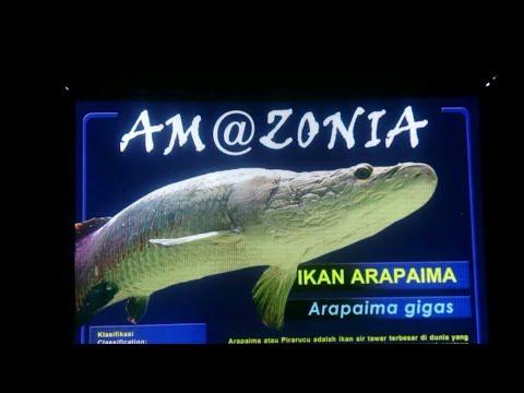ikan arapaima gigas di seaworld ancol