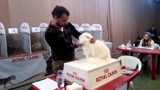 Выставка кошек. Оценка перса