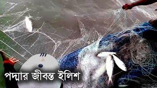 Live Hilsa Fish Catching at Padma River II Catching Elish Fish by Fisherman
