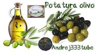 Botanica - Potatura dell' olivo (potatura alla roventina) - Tecniche di potatura alberi da frutto