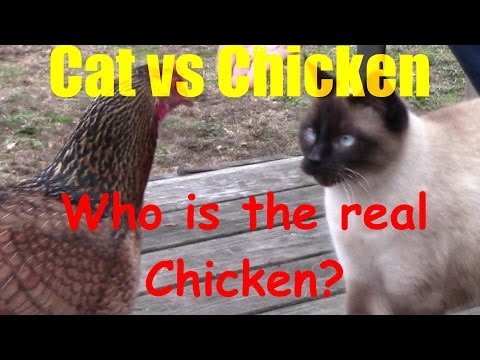 Cat vs Chicken - Siamese vs Salmon Faverolle mix
