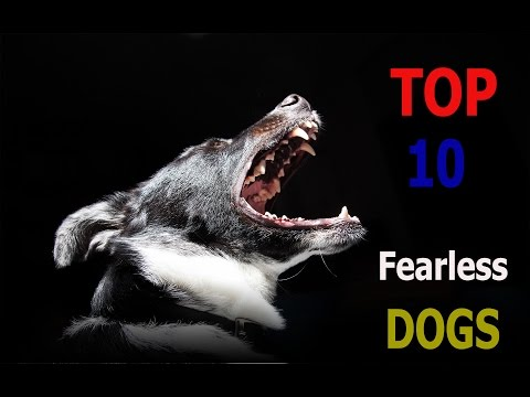 Top 10 fearless dog breeds | Top 10 animals