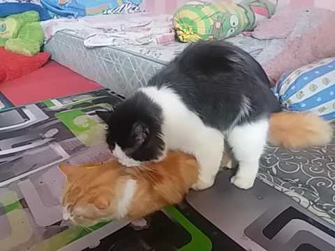 kucing kawin berhasil