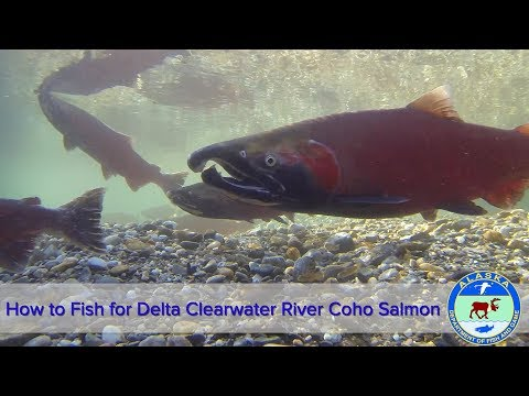 How To Fish For Delta Clearwater River Coho Salmon