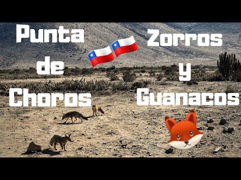Guanacos Y Zorros Del Desierto De Atacama// Punta De Choros // La Serena // Chile 🇨🇱🇨🇱 2019