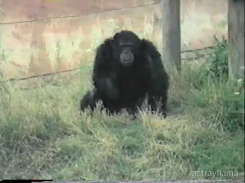Monkey Flinging Poo In The Little Rock Zoo Nuff Said Youtube