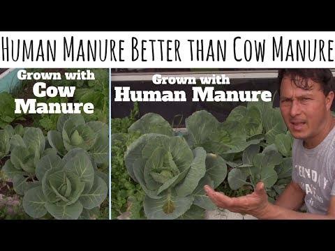 Human Manure Better than Cow Manure as Fertilizer for Organic Gardening