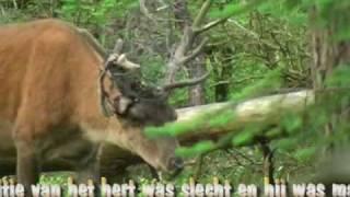 Drama Edelhert / Red deer. Veluwe