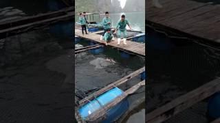 Grouper Feeding in Halong Bay | Oyster Farm | Aquatic Conservation