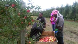 Gambar cover RSE workers in Nz...  Hirst boys harvest jazz apple..(Hastings New-Zealand 2016).