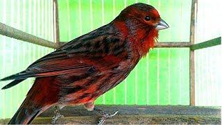 تغريد كناري للتسميع و تهييج الاناث للتزاوج حصريا canary singing training
