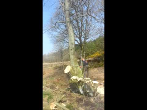 A c Rourke timber contractor felling beech tree
