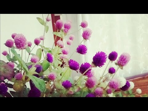 How To Propagate Gomphrena/Globe Amaranth Using Seeds And Its Care