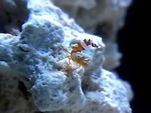 Sexy dancer shrimp