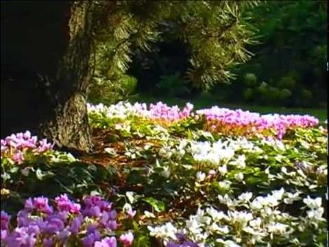 Schatten-Juwel Alpenveilchen (herbstblühendes)