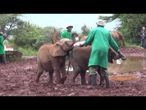 "Baby elephants in ""Elephant Orphanage"" in Nairobi, Kenya."
