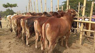 091   Deshi Bull Lineup   Village Haat   Paragram Diaries   ZbGH 2019