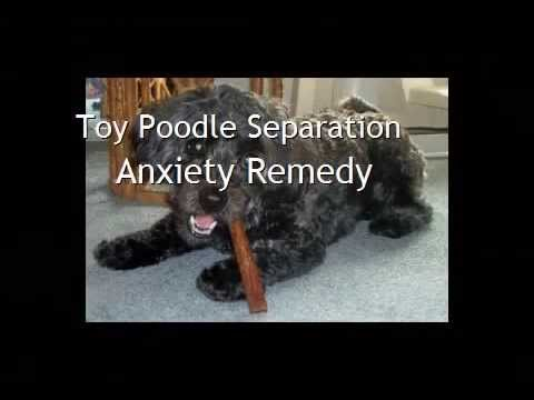 toy poodle separation anxiety remedy youtube. Black Bedroom Furniture Sets. Home Design Ideas