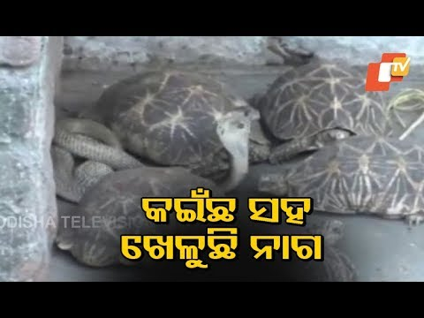 Cobra Found Together With Tortoises In Shiva Temple In Odisha
