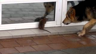 Крыса против собаки