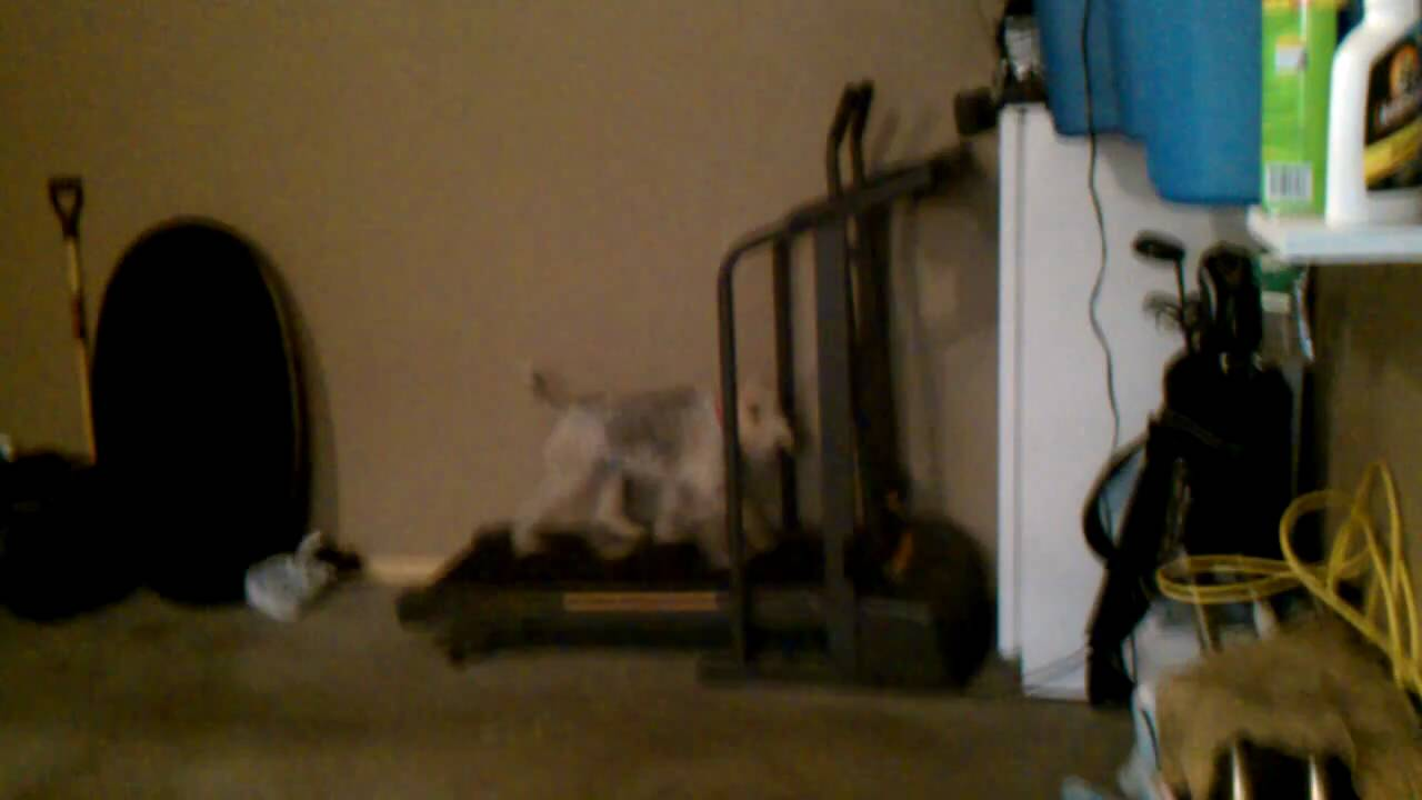 Funny Dog On Treadmill (Wire Fox Terrier)