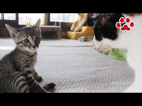さすがに三毛猫にはかなわない Leo can not win against Mi ke
