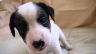 ジャックラッセルテリアの子犬販売情報は、こちらhttp://www.dog-lien.c...