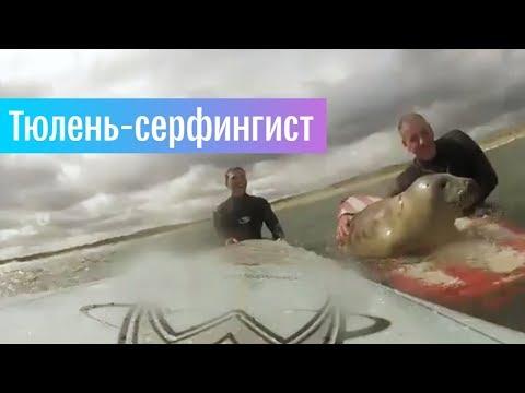 Тюлененок осваивает серфинг