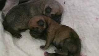 Wicket Gives Birth To 7 Pug Babies
