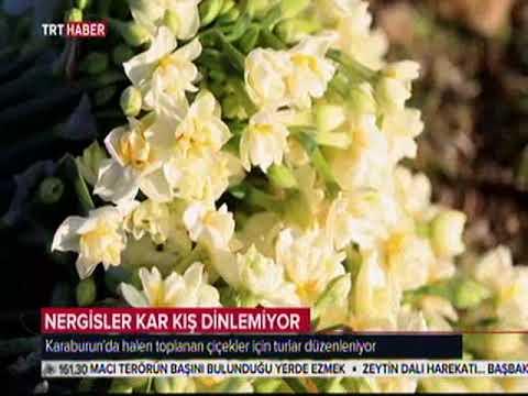 Download Karaburun Nergisi