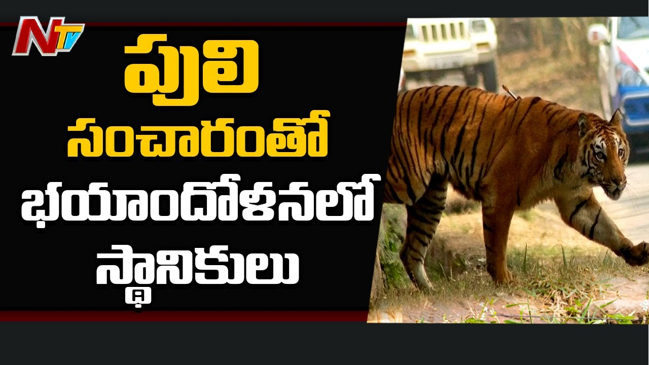 గ్రామంలో పులి సంచారం | Tiger Roaming in Adilabad Village | NTV