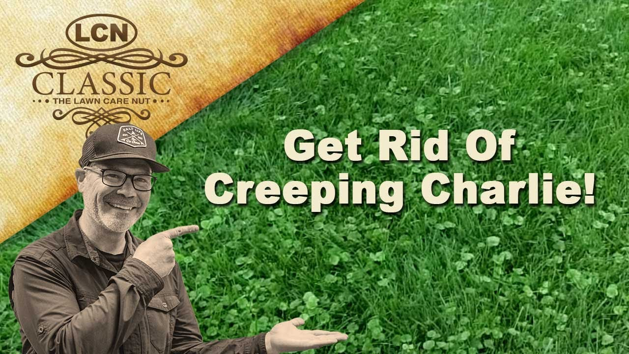 Kill weeds in flower beds - How To Get Rid Of Creeping Charlie Ground Ivy In Lawn Part 1 Youtube