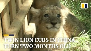Twin lion cubs in China turn two months old