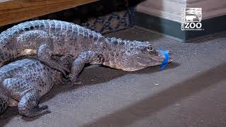 Chinese Alligators and Alligator Snapping Turtles Moved - Cincinnati Zoo