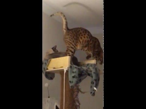 My Siamese Cat is a Jerk