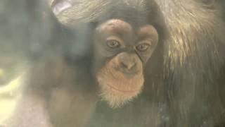 Download Video チンパンジー 双子の赤ちゃん115  Chimpanzee twin baby MP3 3GP MP4
