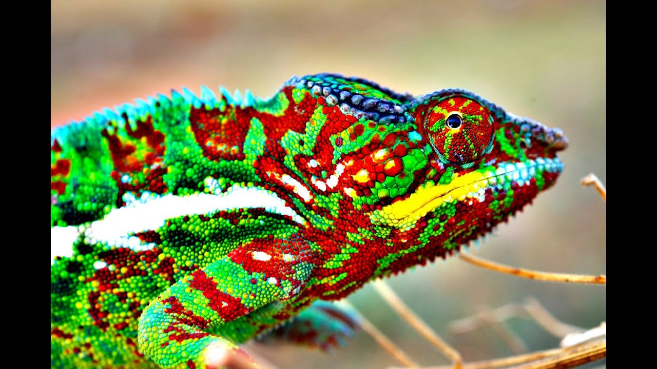 How Do Chameleons Change Color? - YouTube