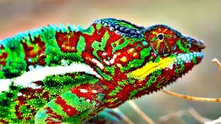 How Do Chameleons Change Color