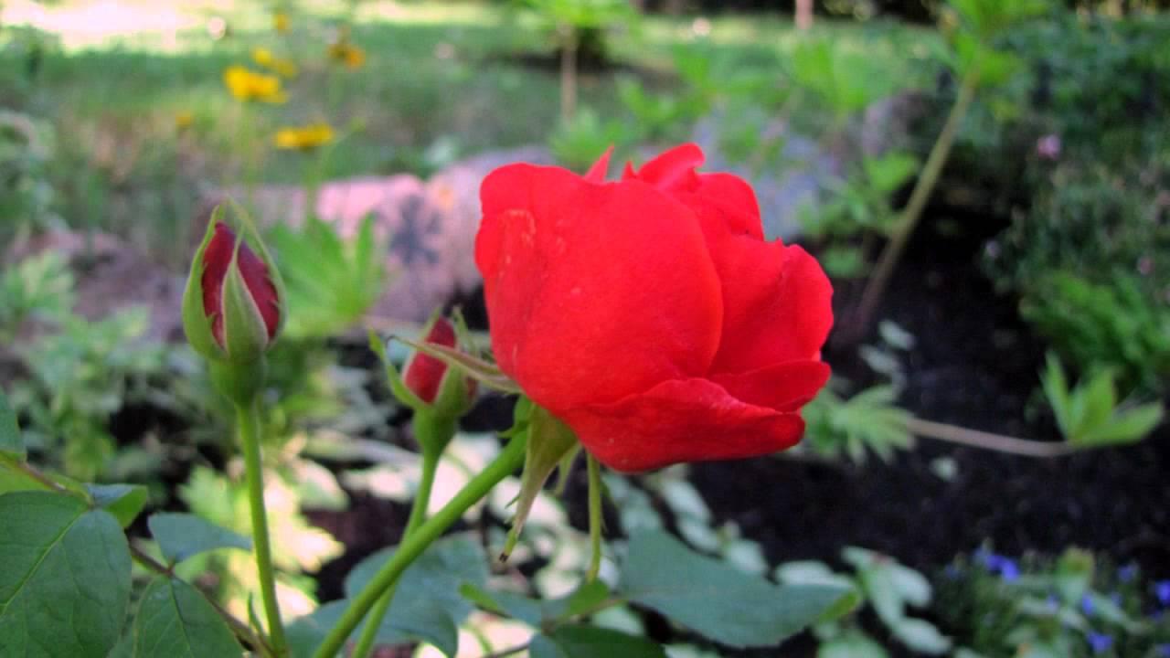 les fleurs de mon jardin en photos musique du vent dans les cordes par jeansynthe34 youtube. Black Bedroom Furniture Sets. Home Design Ideas